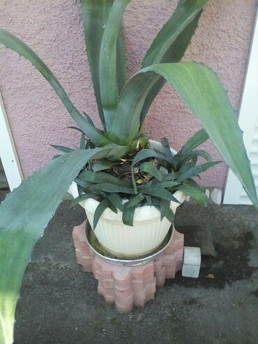 Kuća i bašta - Raska: Kaktus agava,male po komadu 350 dinara