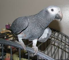 Hand reared baby african grey parrot ready soon available now to в Bujanovac