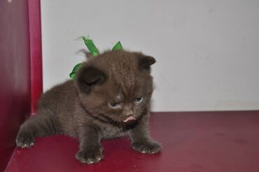 Продаю котят,2 мальчика страйт мама Шотландская Вислоухая,родились 19