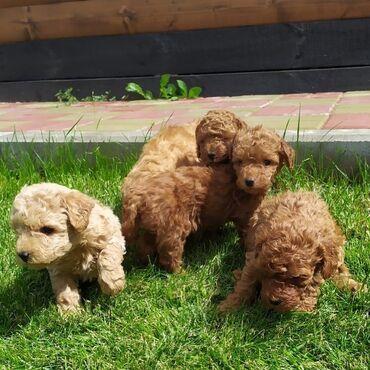 Toy Poodle κουτάβι. Είναι πολύ όμορφα, 10 εβδομάδων και θα έρχονται