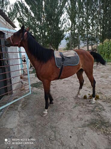 Животные - Орловка: Продаю | Конь (самец), Жеребец | Кара Жорго | Рабочий, Конный спорт | Осеменитель