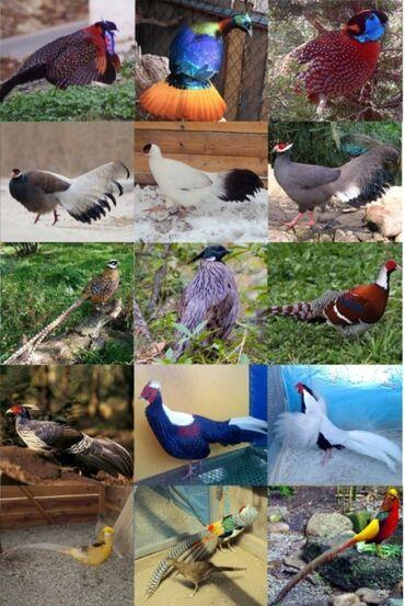 21 объявлений   ЖИВОТНЫЕ: Под заказ любая декоративная птица ! Так же и животные(олени косули