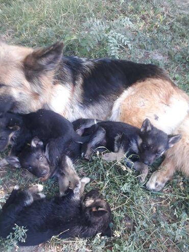 Животные - Сокулук: Спешите месячные особенные щенки оочень умных овчарок. Те кому нужны