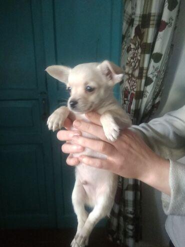 бивер йоркширский терьер в Кыргызстан: Продаю щенков той терьеров кушают сами им 1.5месяца чорная девачка