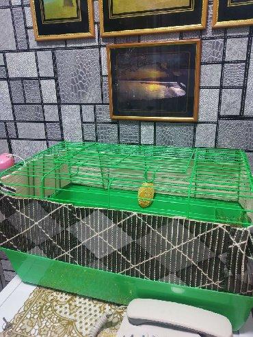 Морские свинки в Кыргызстан: Продам морскую свинку с клеткой через три недели. Белая самочка 8