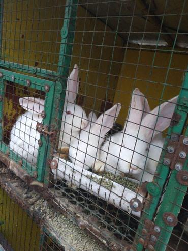 Продаются крольчата: породы немецкий ризен привитые в Лебединовка