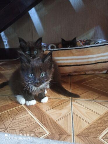 forma dlja ledencov na palochke в Кыргызстан: Продаются котята Мейн куны. В помёте 2 мальчика окрас черный биколор