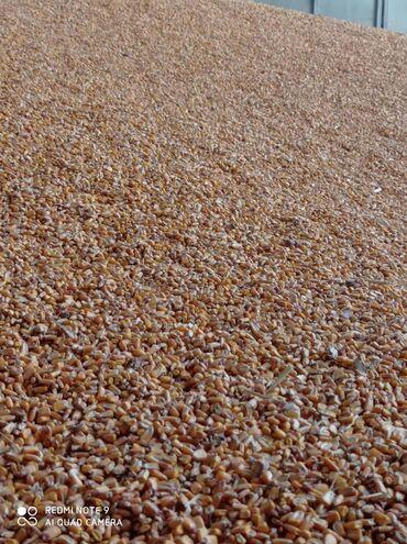 Животные - Кировское: Продается кукуруза, сухая кукуруза 27 сом за кг, самовывоз, хорошая