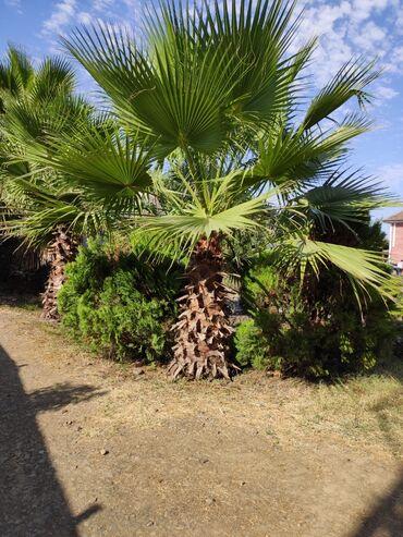 Otaq bitkiləri - Masallı: Vaşinqton sortu Palma ağacları (Washingtonia Palm Tree) satılır. Sayı