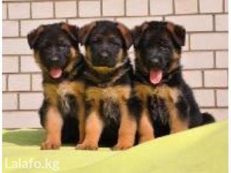 Дрессировка собак: послушание, зкс, в Бишкек