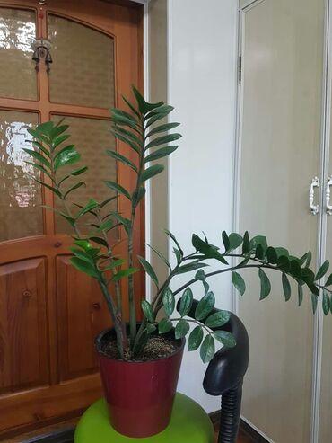 Другие комнатные растения - Кыргызстан: Долларовое дерево