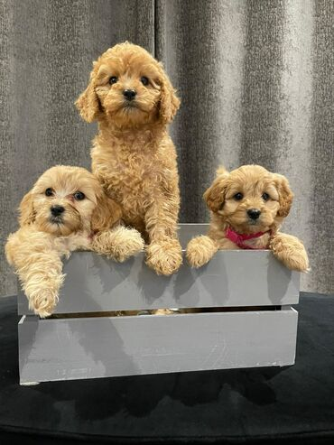 Όμορφα κουτάβια Covapoo Beautiful Covapoo Puppies AKC Quality, υγιές ε