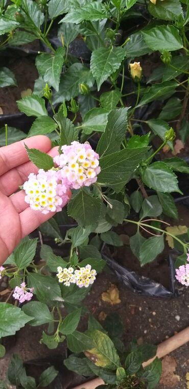 Otaq bitkiləri Xırdalanda: Lantana satılır 6 azn başlıyır qiymeti