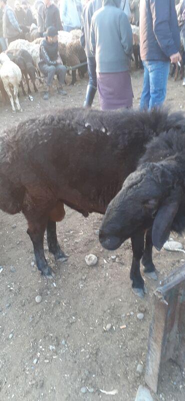 16 объявлений | ЖИВОТНЫЕ: Бараны, овцы