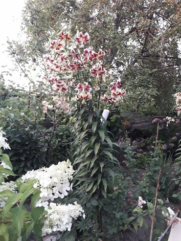 Семена и уличные растения - Кара-Балта: Лилия древовидная в г.Кара-Балта