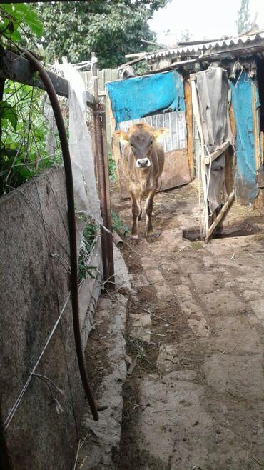 Животные - Каракол: Коровы, быки