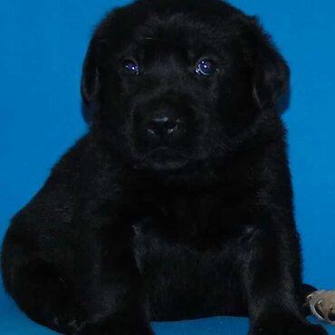 Primark crni mantil - Srbija: Odgajivacnica Labradora Kingdom of labrador sa ponosom objavljuje prod