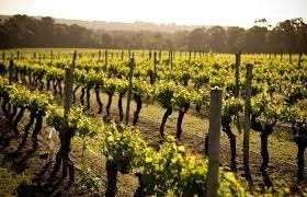 Виноградник в Турции провинция в Чон-Сары-Ой