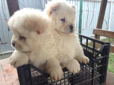 домик для большой собаки в Азербайджан: Satişta her nev cins itler var. Bakidadilar,her itin oz giymeti