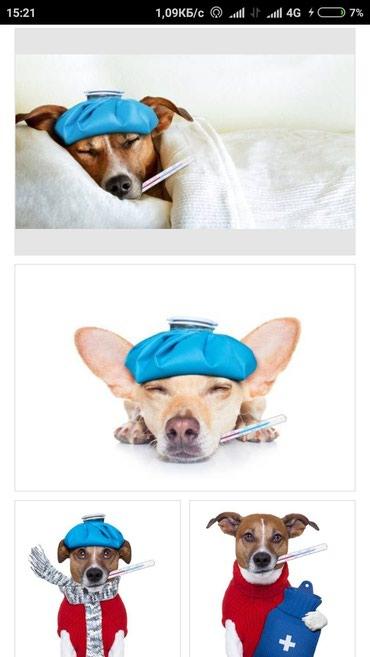 Услуги ветеринара - Кыргызстан: Ветеринарные служба прививки, лечение собак и кошек и др