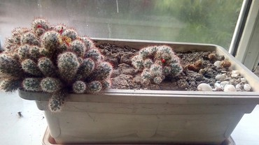 растение-комнатная в Кыргызстан: Домашний цветок в горшке. кактус