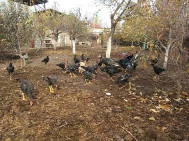Продаю цыплят бойцовой породы тайго в Лебединовка