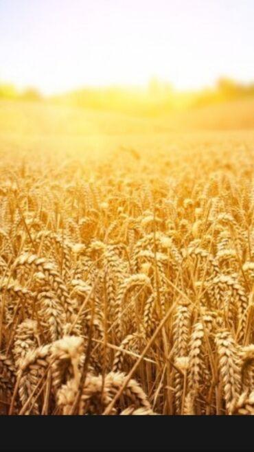 авто в рассрочку в джалал абаде in Кыргызстан | TOYOTA: Семена (Канадской пшеницы -Жерси) (Канадский буудай урук)