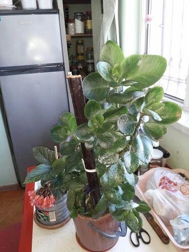 Otaq bitkiləri - Azərbaycan: KALANXOYE 4 KÖKLÜ BİTKİ BİR DİBÇƏKDƏ  HAMISI BÜTÜN YAY BOYU GÜLLƏR AÇI