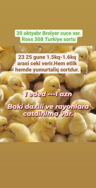 toyuq cuce satisi в Азербайджан: Цыплята   Бройлерная   Для разведения