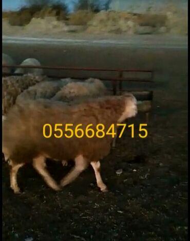 Животные - Биджо: Овца (самка)