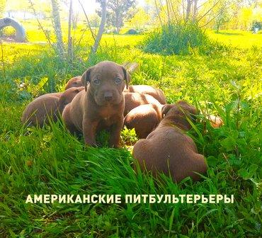 ЩЕНКИ ПИТБУЛЯ  с РОДОСЛОВНОЙ3 мальчика, 2 девочки, возраст: 21 в Бишкек