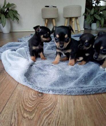 Cachorros chihuahuaVenta de maravillosos cachorros chihuahua. Los