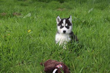 Σιβηρικά γεροδεμένα κουτάβια προς πώλησηΤα κουτάβια της Σιβηρίας Husky