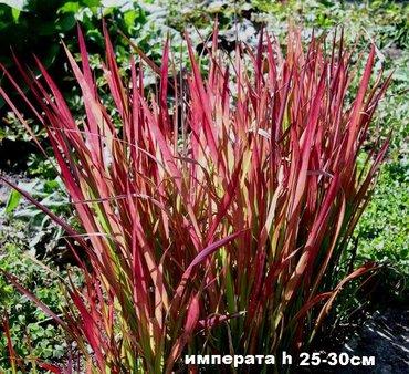 садовые растения в Кыргызстан: Садовые растения - кустарники (форзиция, вейгелы, рябинник, бузина
