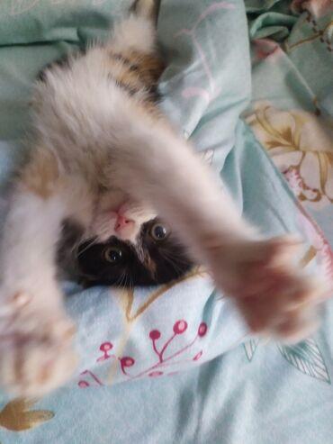 ищу кошку в Кыргызстан: Кошку продаю . Договорная.Привитая домашняя приучина к лотку