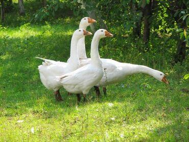 Животные - Гавриловка: 1,5годовалые,несутся по 1200сом