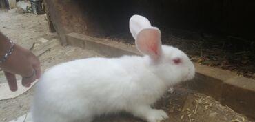 58 elan | HEYVANLAR: Zellandiya dovşanları satılır15 manatdan başlayan qiymətlərlə, çox