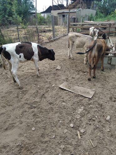 Животные - Баткен: Продаю телят