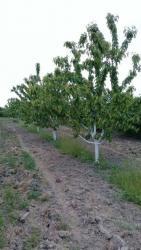 земельные участки семьям в Азербайджан: Продажа 28 соток Для сельского хозяйства от собственника