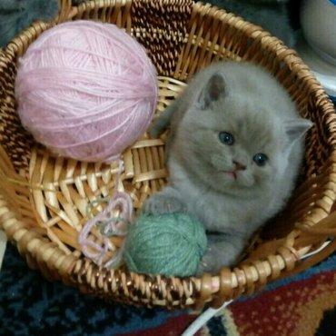 персик добрый и ласковый котенок. редкого лилового окраса. шерстка оче в Бишкек