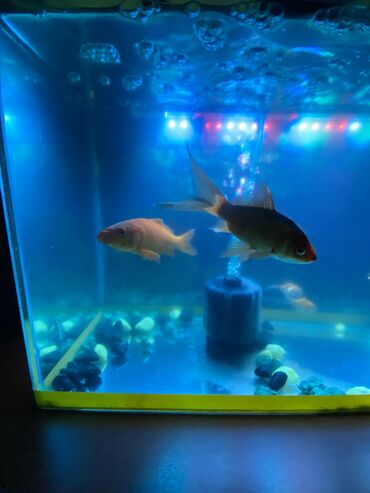 Продаётся аквариум и рыбы 6 шт город Ош