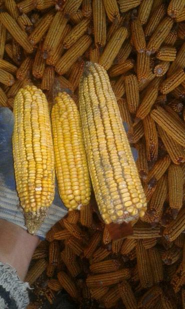 Продаю кукурузу местную с доставкой на дом по 9,50 в Бишкек