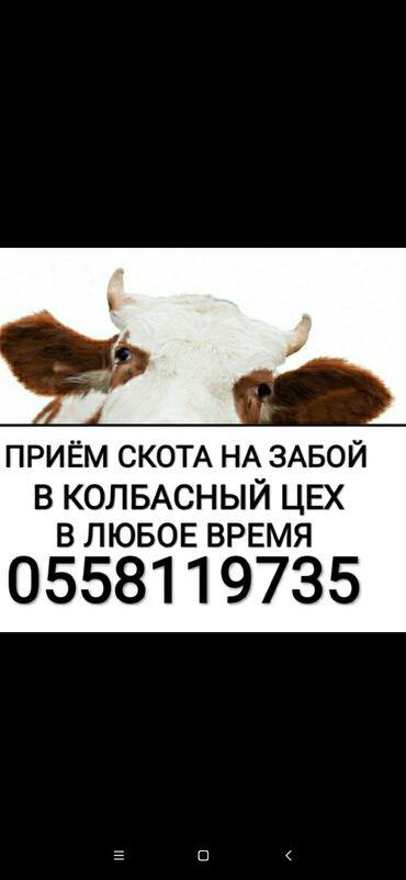Животные - Кара-Балта: Приём коров лошадей быков