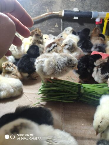 Птицы в Кыргызстан: Цыплята полу брама, на 80 % чистые Оптом дешевле