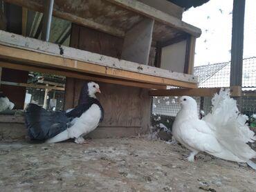 Животные - Кара-Суу: Сатылат  Пара 1000 сом  Ош Кара сууда