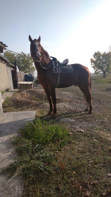 296 объявлений   ЖИВОТНЫЕ: Продаю   Конь (самец)   Полукровка   Для разведения   Племенные, Осеменитель