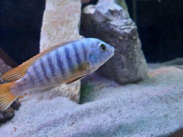 Akvariumlar - Azərbaycan: 2 ədəd böyük ölçüdə balıqlar satılır.Yetişgin 14-15 sm sağlam