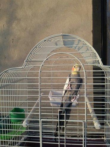 попугай карелла зовут Кеша с клеткой в Бишкек