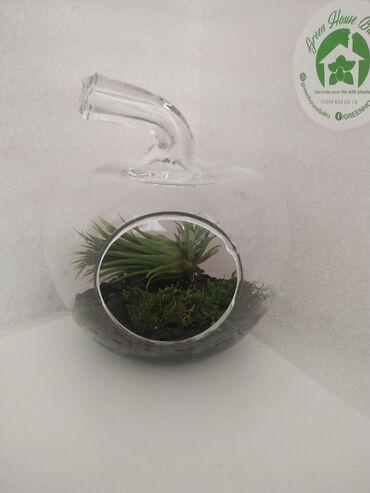 Флорариум.(Яблоко)Растение: 1)Атмосферная Тилландсия.2)Живой мох.Цена