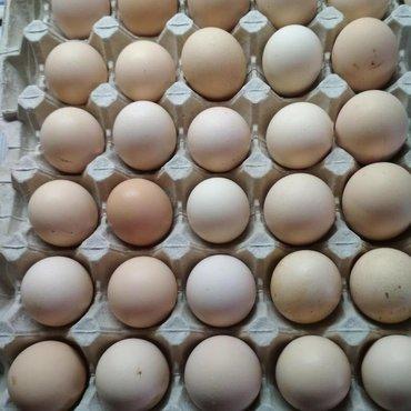 Птицы в Кыргызстан: Продаю яйцо инкубационное Бролер Арбор акрос,Росс 308, Кобб 500,опло
